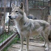 Дрессированные волки