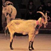 Дрессированные козы