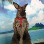 Дрессированные кенгуру