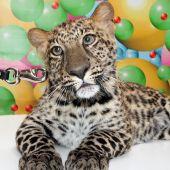Дрессированные леопарды